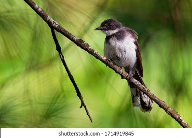 Malaysian Pied-Fantail - Rhipidura javanica black and white singing bird with the big tail, in the genus Rhipidura, its natural habitat is subtropical or tropical moist lowland forests.