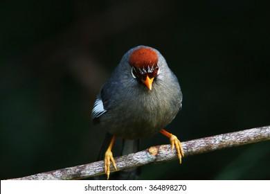 Malaysian wild bird, Chestnut-capped laughingthrush (Garrulax mitratus)
