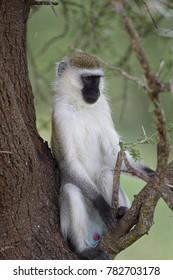 Malbrouck, Tarangire National Park