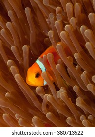 Maldives Anemone fish amphiprion nigripes in anemone / Maldives