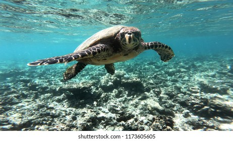 maldives sea turtle in the coral