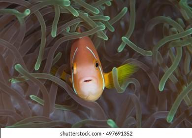 Maldivian clownfish in the magnificent anemone
