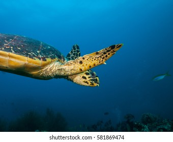 Maldivian hawkbill turtle exploring coral reef. Underwater life and ocean ecosystem