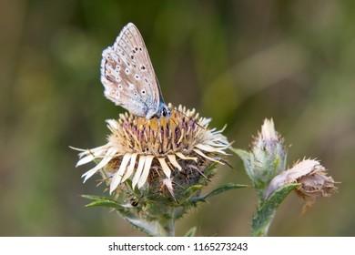Male Adonis blue (Polyommatus bellargus) feeding on the carline thistle (Carlina vulgaris)