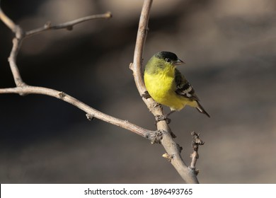Male adult Lesser Goldfinch in western green backed variation perched on garden branch in Tucson, Arizona, United States.  Sunlit and glint in eye.