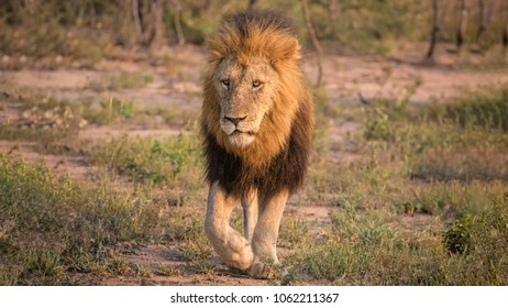 Male adult lion walking in savanna