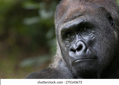 Male Adult Lowland Gorilla on a Brinks of Extinction