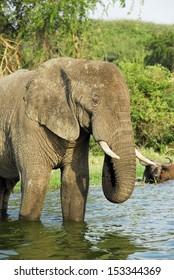 Male African elephant, Kazinga Channel (Uganda)