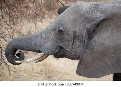 A male african elephant, Tarangire, Tanzania