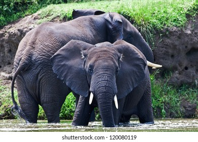 Male African elephants, Kazinga Channel (Uganda)