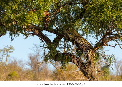 Male African Leopard (Panthera pardus) in tree resting next to the remains of his kill in South Africa