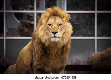 Male african lion with big mane with clean fur looking straight into the camera with closed mouth in front of a glass facade
