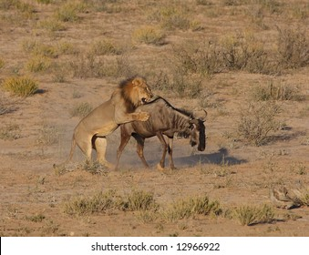 Male african lion hunting down a blue wildebeest
