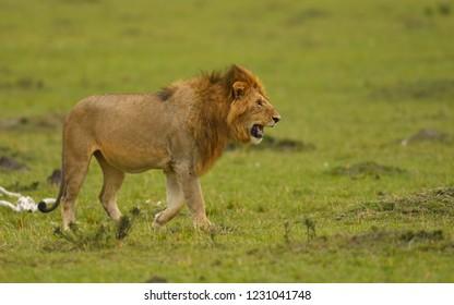A male African lion hunting in a savannah in Masai Mara Game Reserve, Kenya