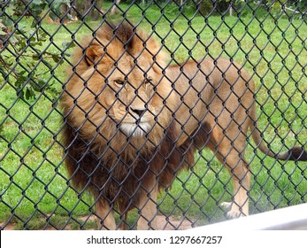 Male African lion with large mane locked in captivity at zoo
