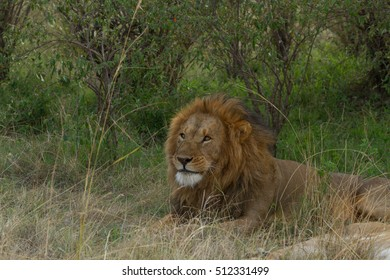 A male African Lion lies in the bush looking for prey