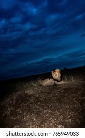 Male African lion named Scarface in Masai Mara Game Reserve, Kenya