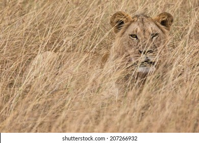 Male african lion resting in long grass