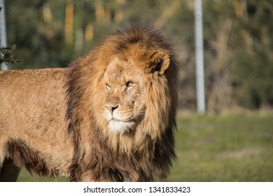 Male African Lion with scars over its face.