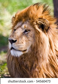 Male African Lion in the Serengeti national park, Tanzania