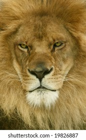 A male African Lion stares off in the distance