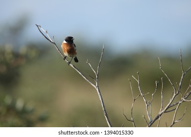 A Male African Stone Chat sitting on a branch