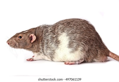 A Male Agouti Colored Variegated Hooded Fancy Rat