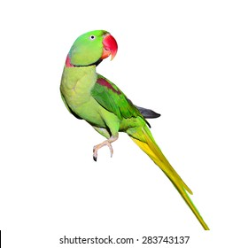 Male Alexandrine Parrot Isolated on a white background. Beautiful bird. Isolated animal