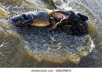 Male American Alligators (Alligator Mississippiensis) fighting over a female during mating season in the Florida Everglades