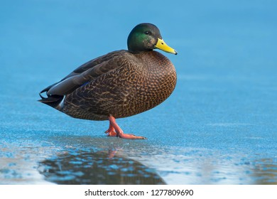 Male American Black Duck × Mallard hybrid standing on thin ice. Humber Bay Park, Toronto, Ontario, Canada.