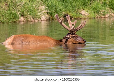 Male American elk (Cervus canadensis) bathing in a lake during hot summer day, Iowa, USA.