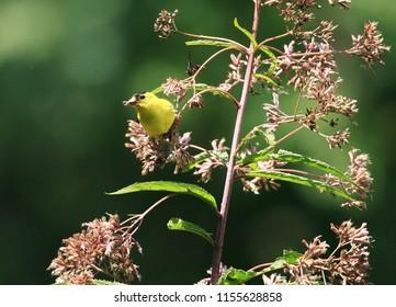 Male American Goldfinch Feeding on a  Joe Pye Weed
