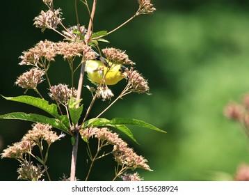 Male American Goldfinch Feeding on Joe Pye Weed