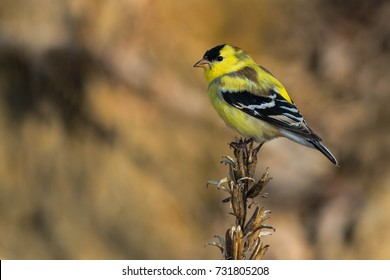 Male American Goldfinch in mid moult is perched on a dead weed.