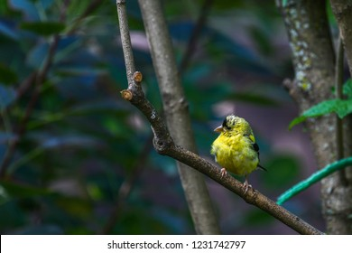 Male American goldfinch on a branch, in the forest, Mauricie, Quebec, Canada