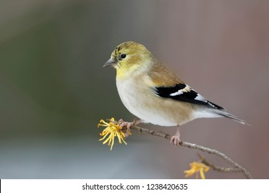 Male American Goldfinch (Spinus tristis) in winter plumage perched on a Witch Hazel branch in late autumn - Ontario, Canada