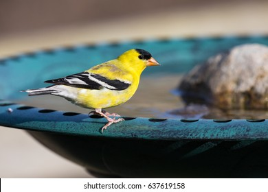 Male American Goldfinch (Spinus tristis) at a backyard bird bath. The American Goldfinch is the state bird of Iowa, New Jersey, and Washington.