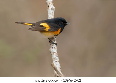 Male American Redstart perched on a branch. Taylor Creek Park, Toronto, Ontario, Canada.