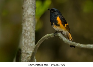 Male American Redstart perched on a branch. Bruce Peninsula National Park, Bruce County, Ontario, Canada.