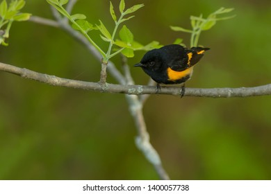Male American Redstart perched on a branch. MacGregor Point Provincial Park, Port Elgin, Ontario, Cabada.