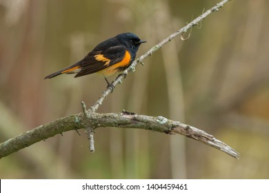 Male American Redstart perched on a branch. Ashbridges Bay Parh, Toronto, Ontario, Canada.