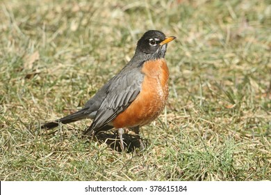 Male American Robin (Turdus migratorius) looking for worms on a lawn