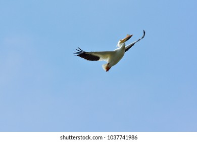 Male American White Pelican Pelecanus erythrorhynchos soaring, on a spring day, with breading plate on beak in De Pere, Wisconsin.