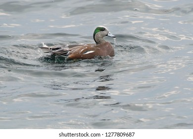 Male American Wigeon swimming in the open water with water dripping off his beak and running off his back. Colonel Samuel Smith Park, Toronto, Ontario, Canada.