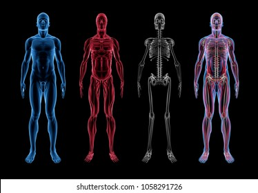 Male Anatomy (3D Body, Muscle & Skeleton) Front View