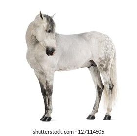 Male Andalusian, 7 years old, also known as the Pure Spanish Horse or PRE, looking right against white background