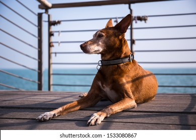 Male Andalusian Podenco dog laying on a wooden platform with the sea in the background