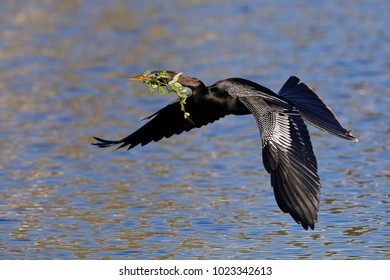 Male Anhinga carrying nesting material in its beak - Venice, Florida