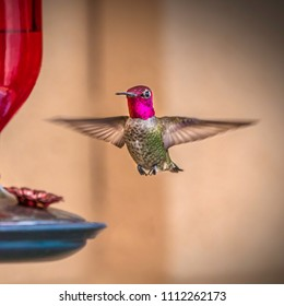 Male Anna's Hummingbird (Calypte anna) photographed at a feeder.