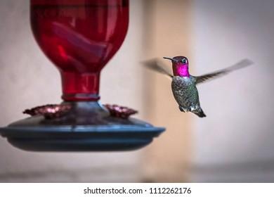 Male Anna's Hummingbird (Calypte anna) photographed at a feeder.